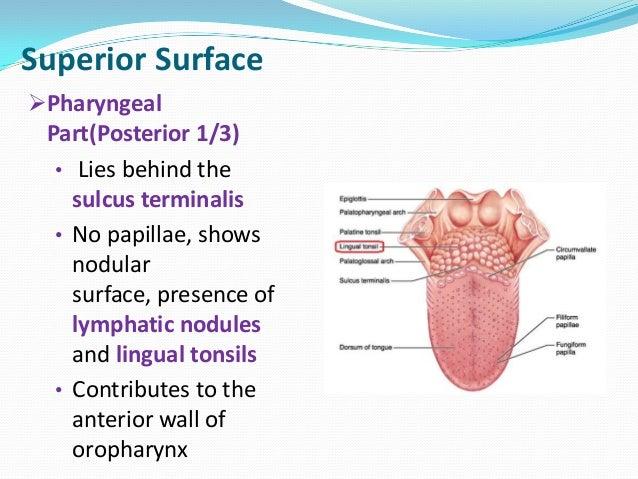 Base of tongue anatomy