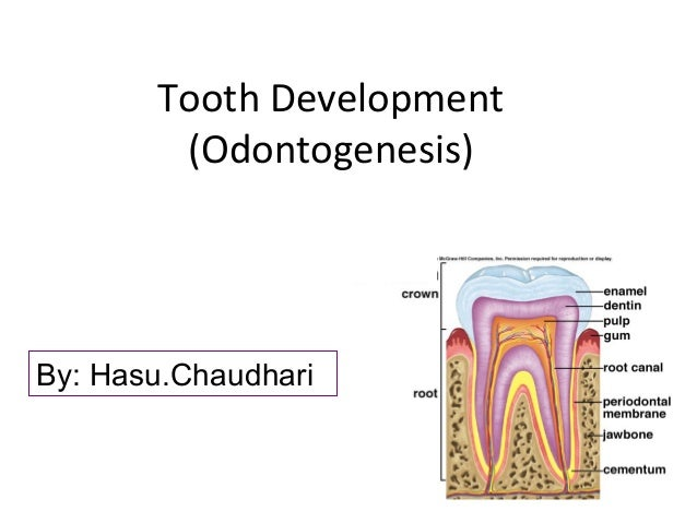 Tooth Development (Odontogenesis)  By: Hasu.Chaudhari
