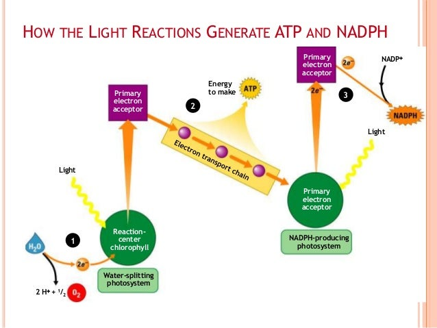 Light-dependent reactions of photosynthesis]