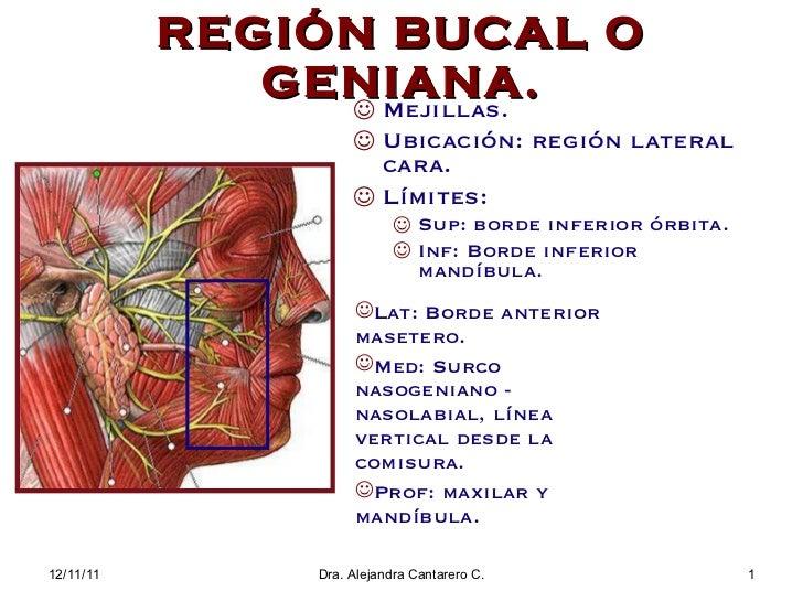 REGI ÓN BUCAL O GENIANA. <ul><li>Mejillas. </li></ul><ul><li>Ubicaci ón: región lateral cara. </li></ul><ul><li>Límites: <...