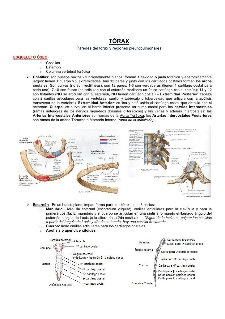 TÓRAX                                     Paredes del tórax y regiones pleuropulmonaresESQUELETO ÓSEO            o Costill...