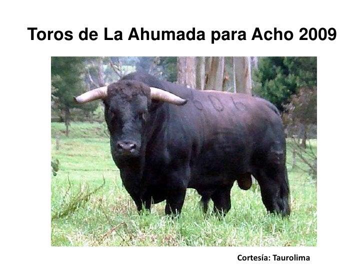 Toros de La Ahumada para Acho 2009                            Cortesía: Taurolima