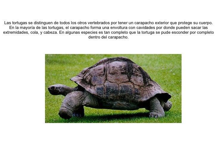 Las tortugas se distinguen de todos los otros vertebrados por tener un carapacho exterior que protege su cuerpo. En la may...