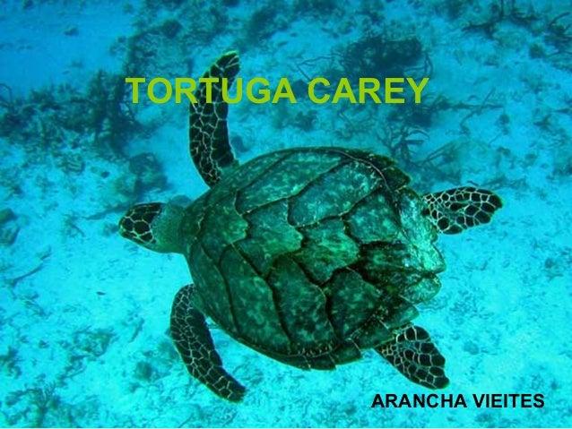 Tortuga carey