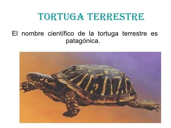 TORTUGA TERRESTRE El  nombre  científico  de  la  tortuga  terrestre  es  patagónica.