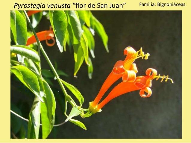 """Pyrostegia venusta """"flor de San Juan"""" Familia: Bignoniáceas"""