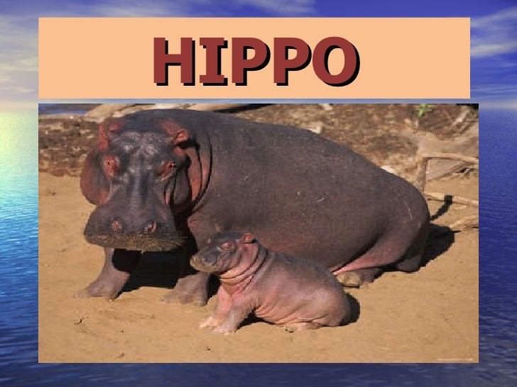 Hippos by ariadna and  xenia
