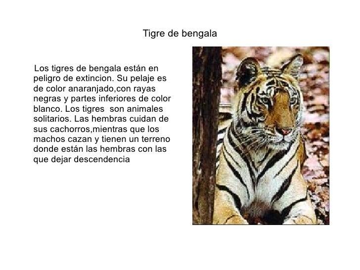 Tigre de bengala <ul><li>Los tigres de bengala están en  peligro de extincion. Su pelaje es de color anaranjado,con rayas ...