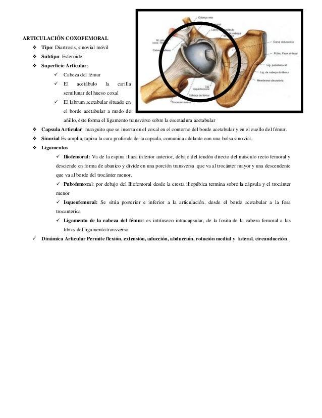ARTICULACIÓN COXOFEMORAL   Tipo: Diartrosis, sinovial móvil   Subtipo: Esferoide   Superficie Articular:   Cabeza del ...