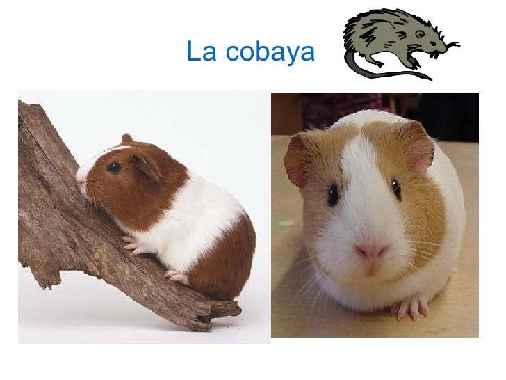 <ul>La cobaya </ul>