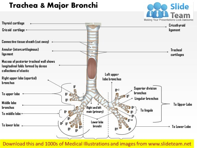 Trachea And Major Bronchi Anterior View Medical Images For