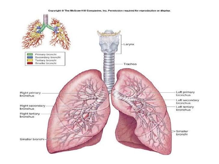 bronchial artery origin images