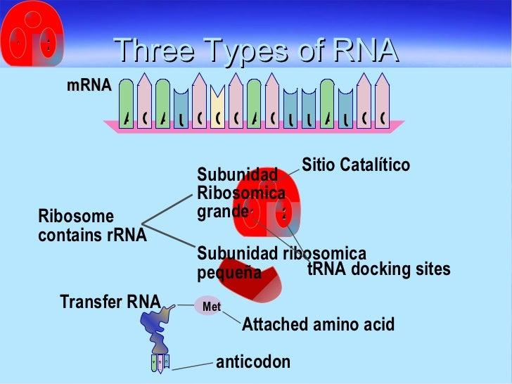 Three Types of RNA Sitio Catalítico tRNA docking sites Attached amino acid Transfer RNA Subunidad ribosomica  pequeña Ribo...