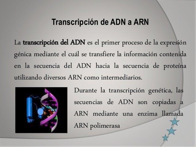 Transcripción de ADN a ARN La transcripción del ADN es el primer proceso de la expresión génica mediante el cuál se transf...