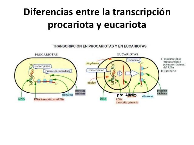 transcripsion-en-eucariotas1-5 ...