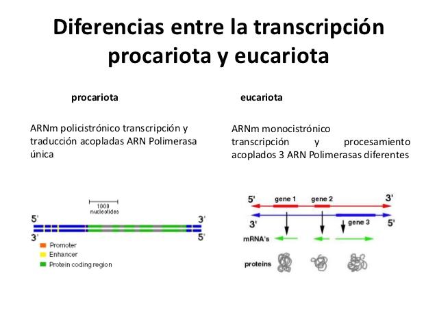 transcripsion-en-eucariotas1-6 ...