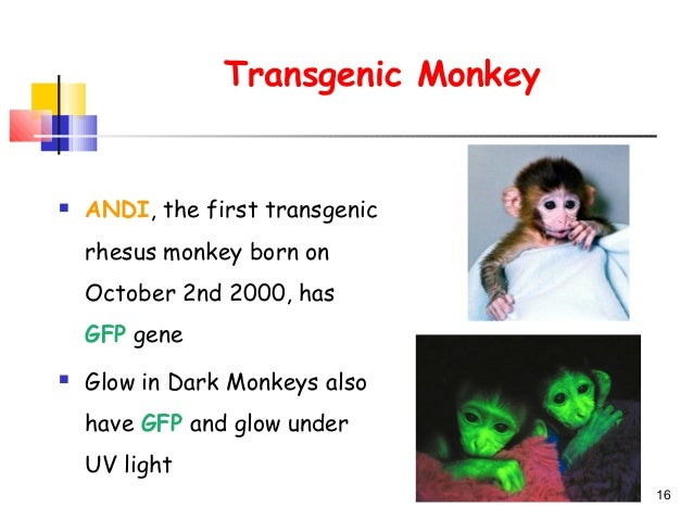 transgenic animals research papers Research people papers press we have concentrated on neuromuscular junctions in a very accessible neck muscle in mice where new transgenic animals and other.