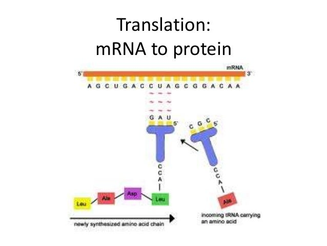 mrna and protein synthesis