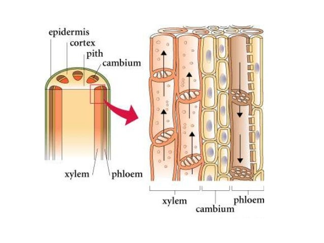 Transport in plants 2 xylem and phloem structure Xylem And Phloem In Plants