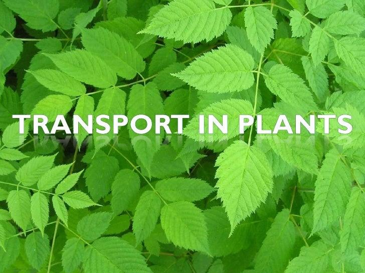 Transport in plant   slides