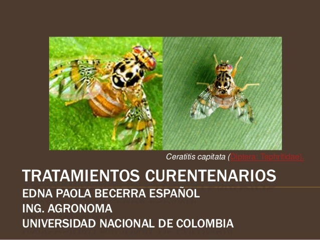 Ceratitis capitata (Diptera: Tephritidae).TRATAMIENTOS CURENTENARIOSEDNA PAOLA BECERRA ESPAÑOLING. AGRONOMAUNIVERSIDAD NAC...