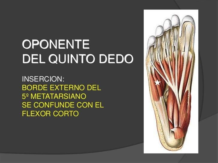 Anatom a m sculos del pie for Cuarto y quinto metatarsiano