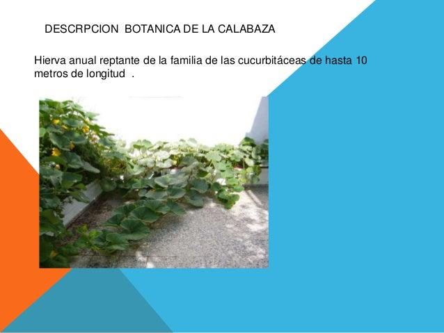 DESCRPCION BOTANICA DE LA CALABAZA Hierva anual reptante de la familia de las cucurbitáceas de hasta 10 metros de longitud...
