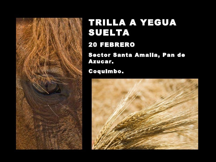 TRILLA A YEGUA SUELTA 20 FEBRERO Sector Santa Amalia, Pan de Azucar. Coquimbo.