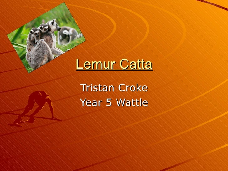 Lemur Catta Tristan Croke Year 5 Wattle