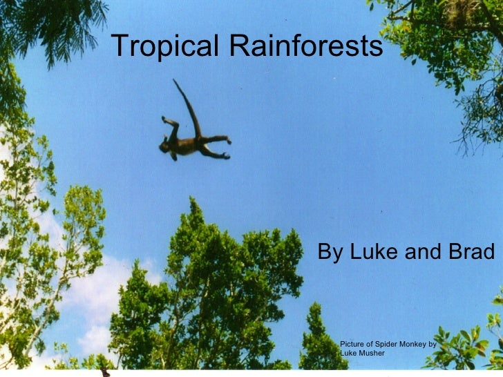 Tropical Rainforests By Luke and Brad Picture of Spider Monkey by Luke Musher