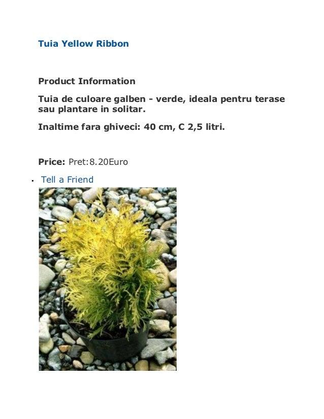 Tuia Yellow Ribbon    Product Information    Tuia de culoare galben - verde, ideala pentru terase    sau plantare in solit...