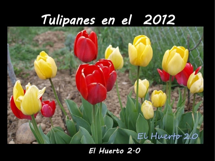 Tulipanes en el 2012       El Huerto 2.0