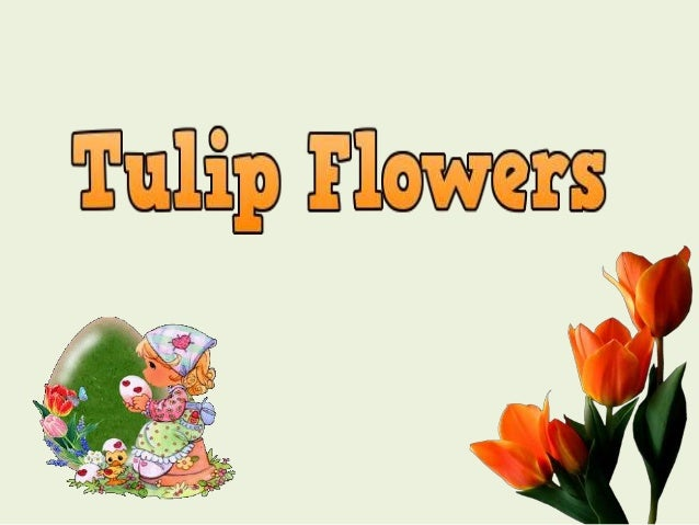 The tulip is a perennial, bulbous plant with showy flowers in the genus Tulipa, of which ca 75 wild species are currently ...