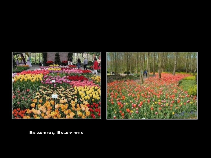Tulipsof holland