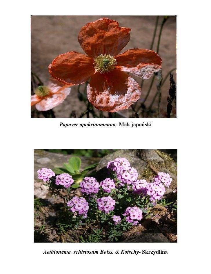 Papaver apokrinomenon- Mak japońskiAethionema schistosum Boiss. & Kotschy- Skrzydlina