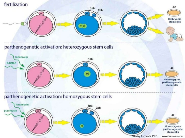 http://image.slidesharecdn.com/turovets8july2011-13245819699115-phpapp01-111222133540-phpapp01/95/how-is-parthenogenesis-done-animated-7-728.jpg?cb=1328274502