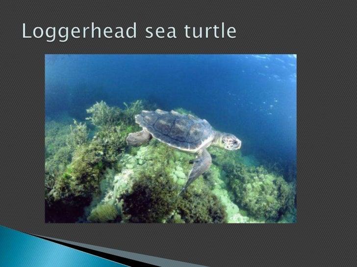 Loggerhead sea turtle<br />