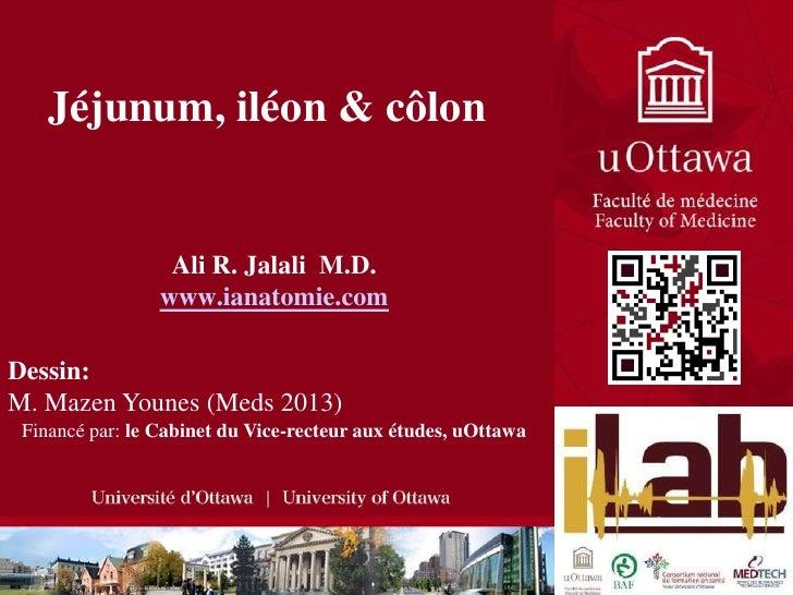 Jéjunum, iléon & côlon<br />Ali R. Jalali  M.D.<br />www.ianatomie.com<br />Dessin:  <br />M. Mazen Younes (Meds 2013)<br ...