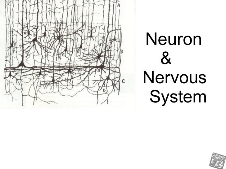 neuron & nervous system -fernando- biodeluna