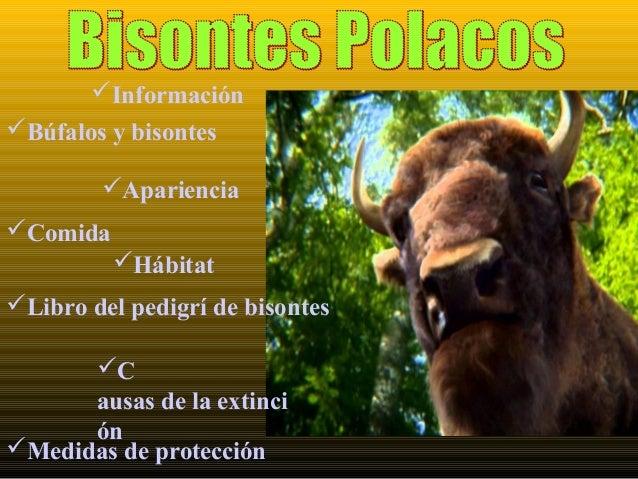 Información Hábitat Libro del pedigrí de bisontes C ausas de la extinci ón Medidas de protección Apariencia Búfalos...