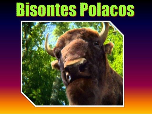 Los bisontes son una especie en peligro de extinción y están en el Libro Rojo desde el año 1966. El lugar más representati...