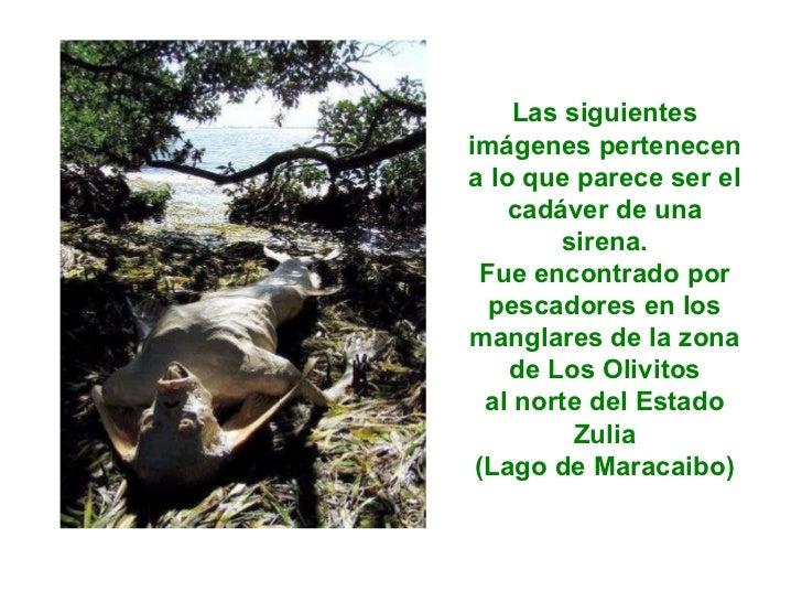 Las siguientes imágenes pertenecen a lo que parece ser el cadáver de una sirena. Fue encontrado por pescadores en los mang...