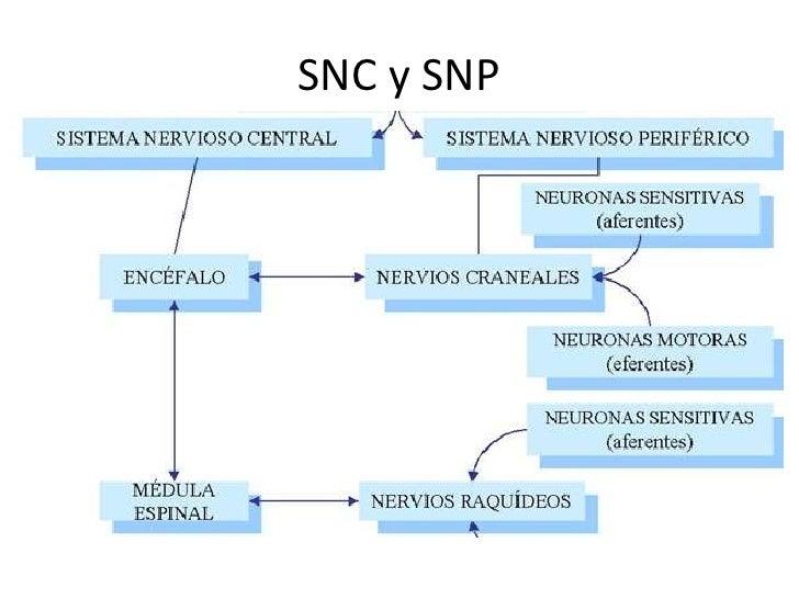SNC y SNP