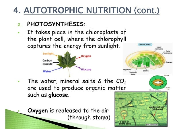 essay on autotrophic nutrition Autotrophic organisms undergo the proecess of nutrition in living organisms essay more about autotrophic organisms undergo the proecess of phototsynthesis.