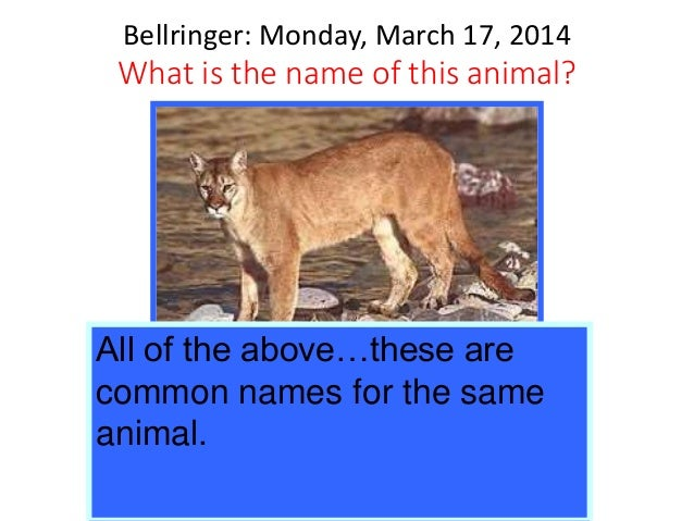 Bellringer: Monday, March 17, 2014 What is the name of this animal? a. Puma b. Cougar c. Mountain lion d. Panther All of t...