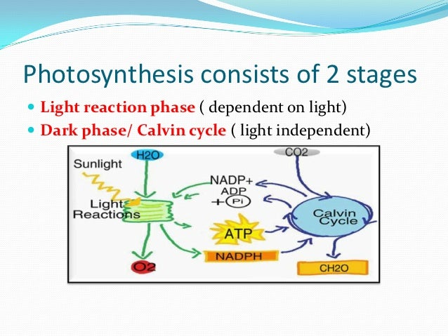 phases of photosynthesis How the products of the light reactions, atp and nadph, are used to fix carbon into sugars in the second stage of photosynthesis.