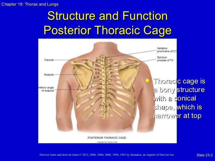 Approach To The Emergency Patient 40673626 further Diagram Of The Stomach And Pancreas further What Is The Function Of Moderator Band Of Right Ventricle together with Unit 2 App Thorax And Lungs also Kin 191 B Abdomen And Thorax Injuries. on thoracic cavity