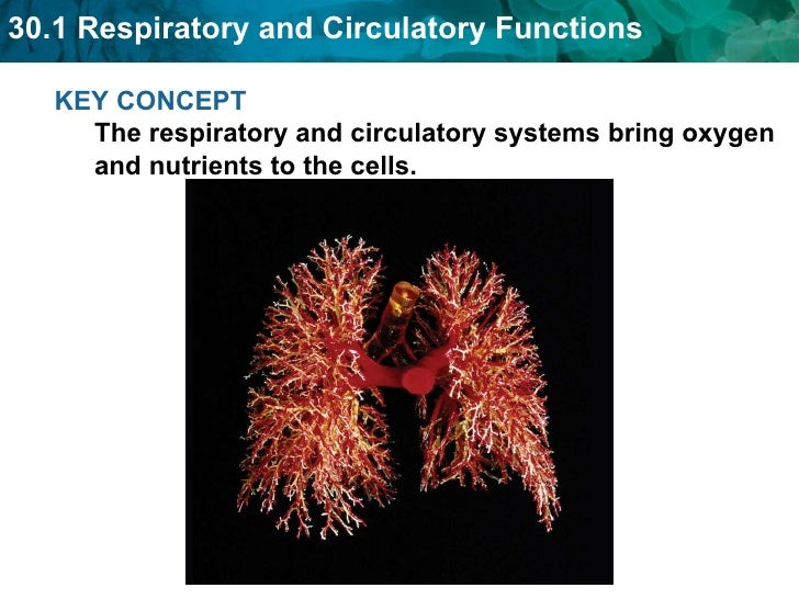 KEY CONCEPT  The respiratory and circulatory systems bring oxygen and nutrients to the cells.
