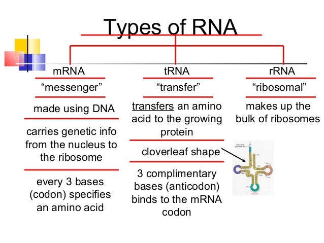 mrna protein sythesis