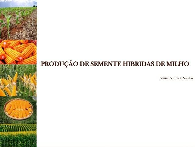 PRODUÇÃO DE SEMENTE HIBRIDAS DE MILHO  Aluna:Núbia C.Santos